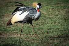 Free Photo Of Black, White, And Brown Crane Bird Royalty Free Stock Photo - 117688945