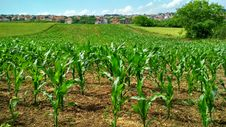 Free Corn Plant On Field Stock Photo - 117689060