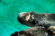 Free Mammal, Fauna, Otter, Water Stock Images - 117728594