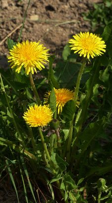 Free Flower, Dandelion, Plant, Sow Thistles Royalty Free Stock Photography - 117728807