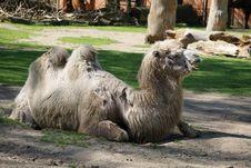 Free Camel Like Mammal, Camel, Terrestrial Animal, Fauna Royalty Free Stock Photo - 117728825
