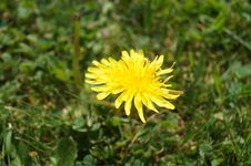 Free Flower, Sow Thistles, Dandelion, Flora Royalty Free Stock Photography - 117728837
