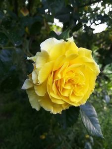 Free Rose, Flower, Rose Family, Yellow Royalty Free Stock Images - 117728989