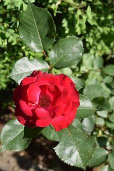 Free Rose, Flower, Plant, Rose Family Stock Images - 117729114