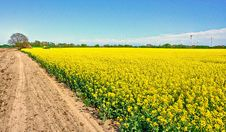 Free Yellow, Rapeseed, Field, Canola Stock Image - 117729181