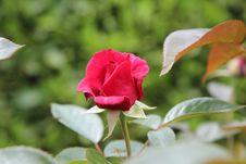Free Flower, Rose Family, Rose, Plant Royalty Free Stock Photo - 117729405