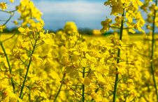 Free Rapeseed, Canola, Yellow, Mustard Plant Stock Photo - 117729410