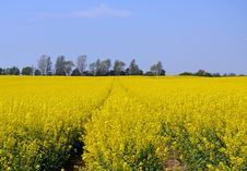 Free Rapeseed, Yellow, Canola, Field Stock Photos - 117729413