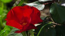 Free Flower, Rose Family, Plant, Floribunda Royalty Free Stock Photography - 117729417