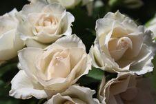 Free Flower, Rose, Rose Family, White Stock Photography - 117729432