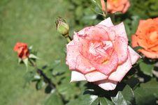 Free Rose, Flower, Rose Family, Floribunda Royalty Free Stock Photo - 117729435