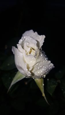 Free Flower, White, Rose Family, Rose Stock Photos - 117729473