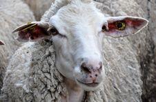 Free Sheep, Cow Goat Family, Fauna, Horn Stock Photos - 117729513
