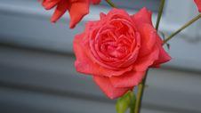 Free Rose, Flower, Rose Family, Red Stock Photo - 117729570