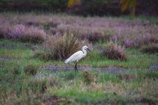 Free Shallow Photography Of Great Egret Stock Photos - 117767763