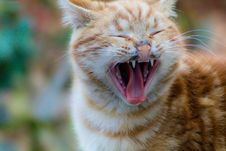 Free Selective Focus Photography Of Yawning Orange Tabby Cat Royalty Free Stock Photo - 117767765