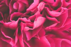 Free Close-up Photo Of Pink Petaled Flowers Royalty Free Stock Images - 117767849