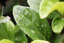 Free Green Leaves With Water Droplets Stock Photo - 117767920