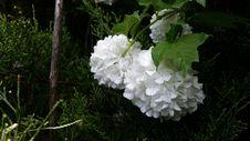 Free Flower, Plant, Flowering Plant, Hydrangea Stock Photography - 117788022