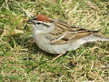 Free Bird, Sparrow, House Sparrow, Ecosystem Stock Photos - 117788093