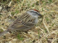 Free Bird, Sparrow, House Sparrow, Fauna Stock Image - 117788101