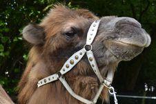 Free Camel, Camel Like Mammal, Snout, Wildlife Stock Photo - 117788190