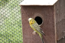 Free Common Pet Parakeet, Bird, Parakeet, Fauna Stock Photo - 117788250