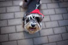Free Dog, Dog Like Mammal, Dog Breed, Miniature Schnauzer Stock Images - 117788464