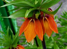Free Flower, Plant, Crown Imperial, Flowering Plant Royalty Free Stock Photo - 117788495