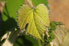 Free Leaf, Grapevine Family, Grape Leaves, Plant Pathology Royalty Free Stock Images - 117788779