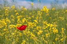 Free Field, Rapeseed, Ecosystem, Yellow Royalty Free Stock Images - 117788919