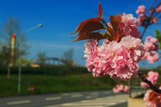Free Blossom, Flower, Sky, Pink Royalty Free Stock Photos - 117788978