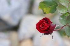 Free Flower, Rose, Rose Family, Red Stock Photography - 117788992
