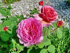 Free Flower, Rose, Rose Family, Floribunda Stock Images - 117789044