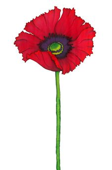 Red Poppy Poppy Isolated On White Stock Images