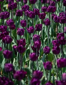 Free Dark Purple Tulip Flowers Royalty Free Stock Photo - 117852705