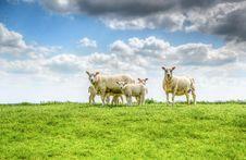 Free Five White Sheep On Farm Stock Image - 117852761