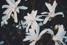 Free White Magnolia Flowers In Closeup Photo Stock Images - 117852774