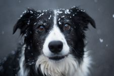 Free Selective Focus Photography Of Adult Black And White Border Collie Stock Images - 117852924