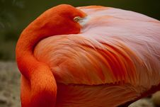 Free Closeup Photo Of Orange Flamingo Royalty Free Stock Photography - 117852937