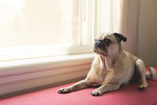 Free Adult Fawn Pug Near White Wooden Framed Window Royalty Free Stock Photography - 117853017