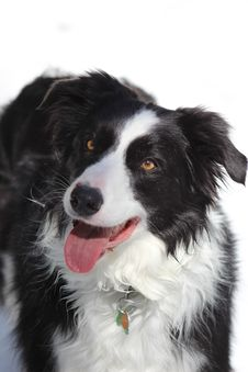 Free Dog, Dog Breed, Dog Like Mammal, Border Collie Royalty Free Stock Photos - 117884418