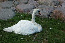 Free Swan, Bird, Water Bird, Ducks Geese And Swans Royalty Free Stock Photography - 117884497