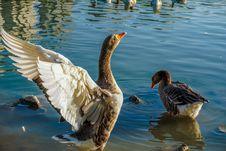 Free Bird, Water Bird, Water, Duck Royalty Free Stock Photo - 117884625