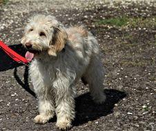 Free Dog, Dog Like Mammal, Dog Breed, Sapsali Stock Image - 117884691