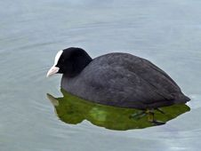 Free Bird, American Coot, Fauna, Beak Royalty Free Stock Photo - 117884735