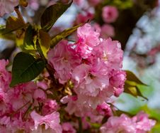 Free Pink, Blossom, Flower, Cherry Blossom Royalty Free Stock Image - 117884886