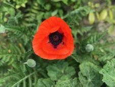 Free Flower, Poppy, Wildflower, Poppy Family Royalty Free Stock Photography - 117885047