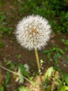 Free Flower, Dandelion, Plant, Flora Stock Photos - 117885083