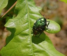 Free Insect, Leaf, Beetle, Leaf Beetle Royalty Free Stock Photography - 117885267